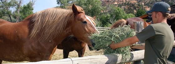 feeding hay to horses