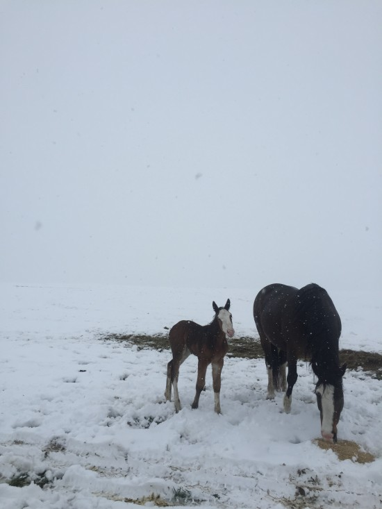 Mom and foal enjoying the moisture the snow brought to the Stampede Ranch
