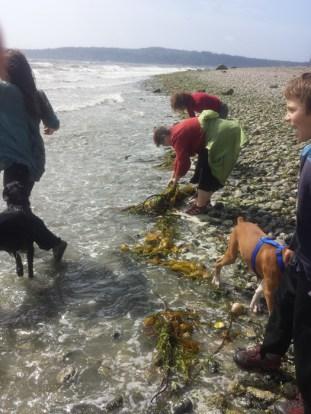 Kelp harvests