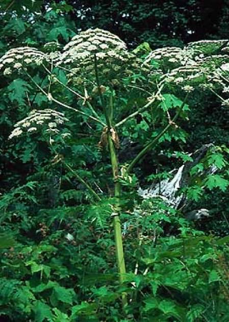 gianthogweed1