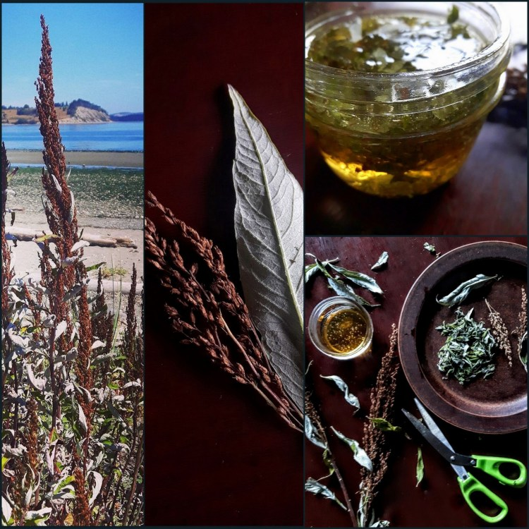 Foraging & Cooking with Coastal Mugwort: A Salt, A Honey