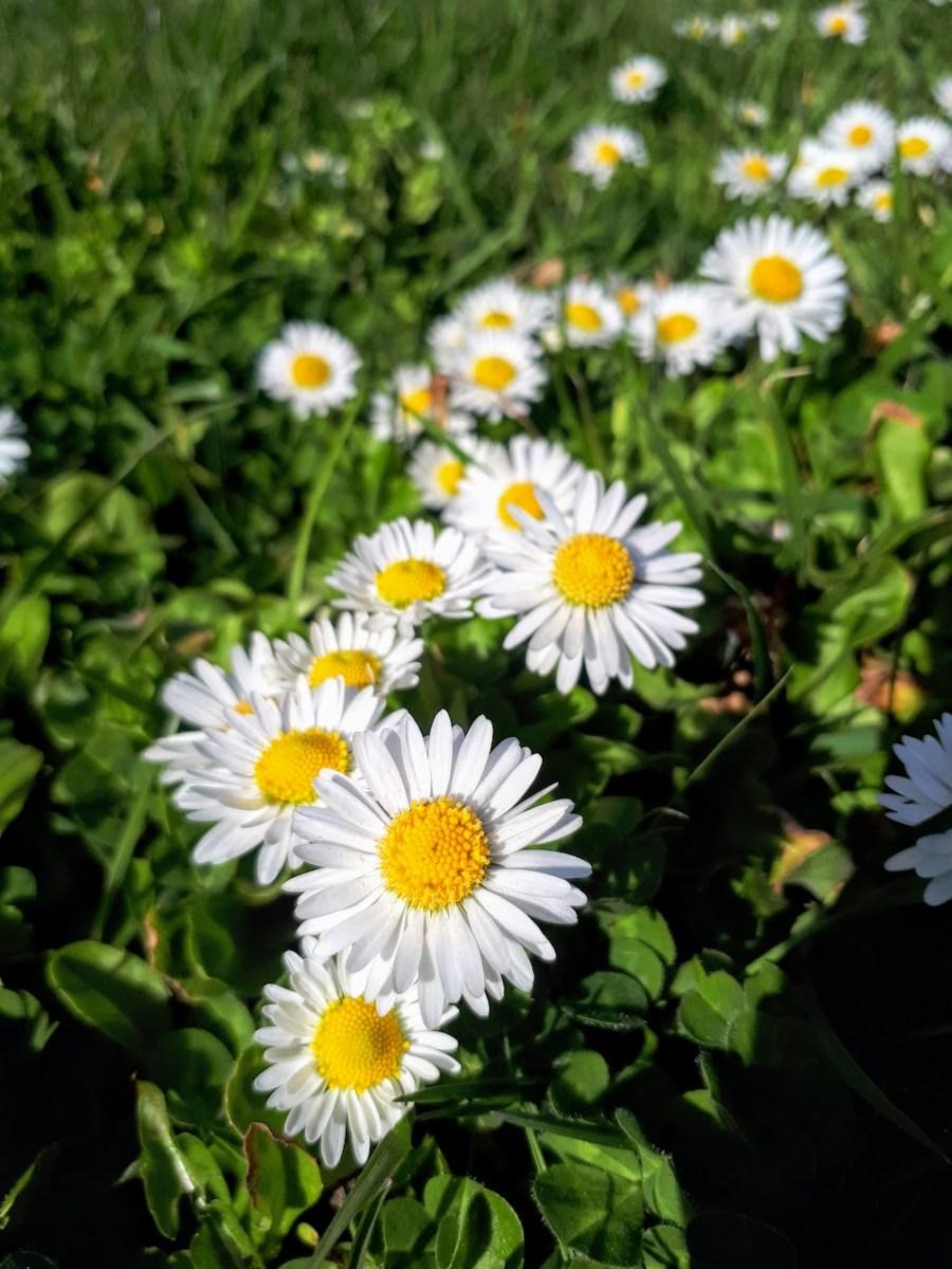 Piquant and pretty daisy flower capers gather victoria izmirmasajfo