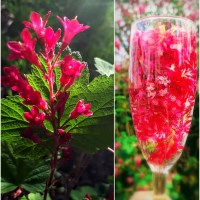 Drinking in Joy: Red Flowering Currant Elixir