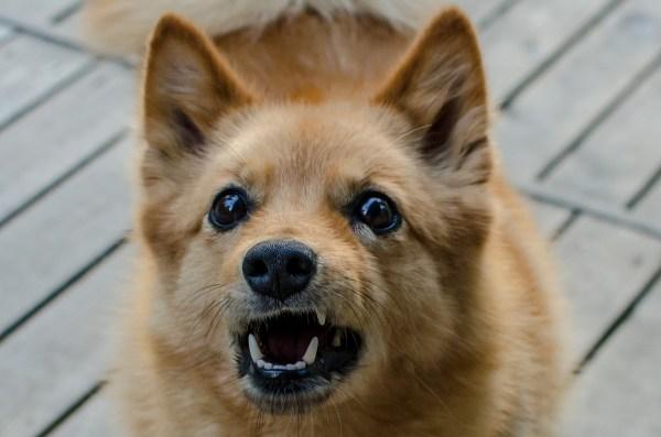 por que os cachorros latem e o significado do latido
