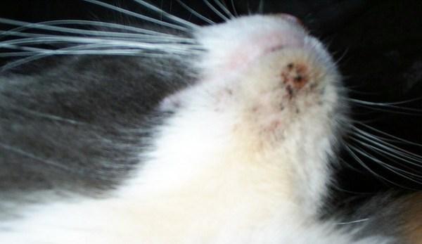 Essa é a aparência da acne felina.
