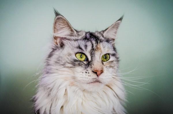 gato marcar territorio xixi fora do lugar pela casa