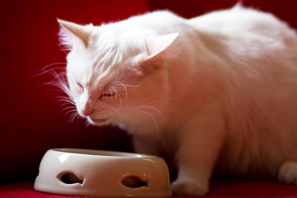 7 erros comuns que você pode cometer quando escolhe a ração do seu gato