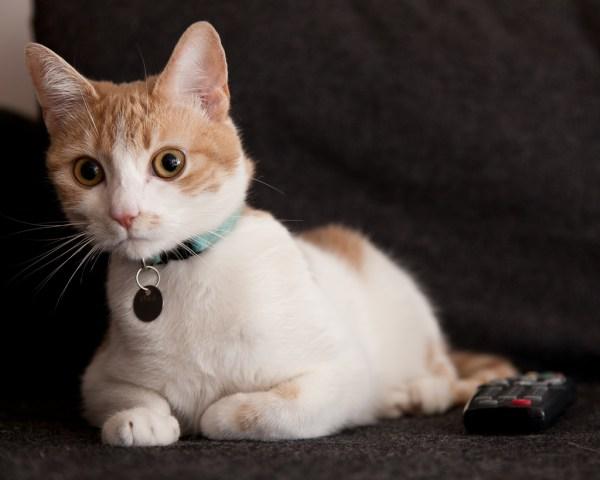 coleira segura gatos