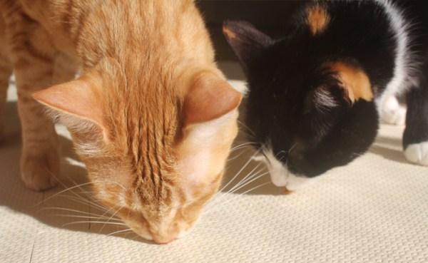 apresentar-gatos-fazer-pazes-3