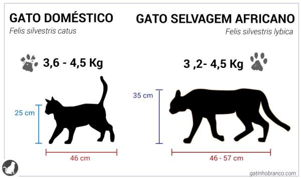 african wildcat felis silvestris lybica domestic cat