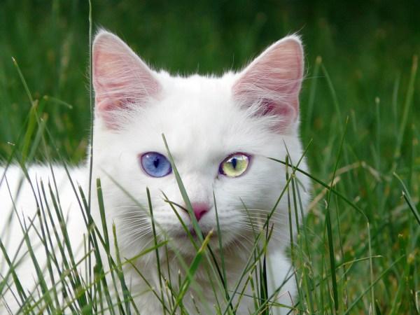 gato heterocromia olhos