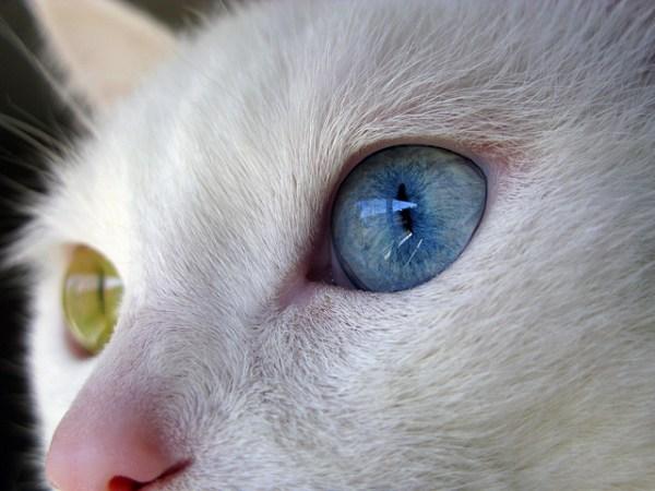 gato olho ver olho azul heterocromia