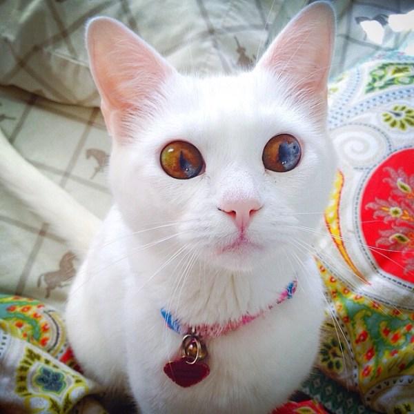 gatos olhos impares heterocromia2
