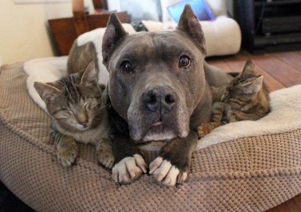 pit bulls adotam gatinhos