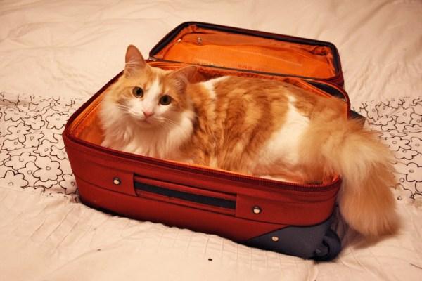 viajar-gato