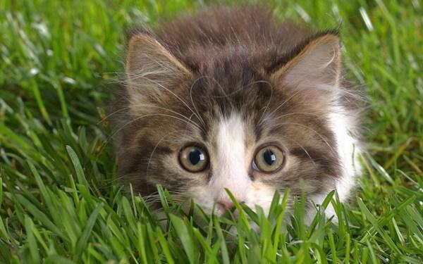 mitos-alimentacao-gatos-grama