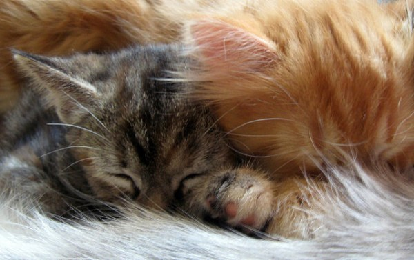 mitos-alimentacao-gatos-leite