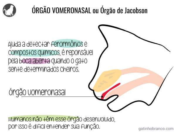 vomeronasal-organ-orgao-de-jacobson