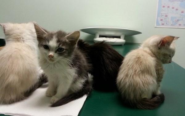 vacinas cuidados saude gato