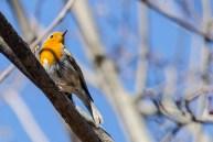 Sarkanrīklīte. Erithacus rubecula. European robin.