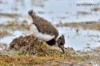Ķīvīte. Vanellus vanellus. Northern lapwing.