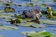 Ūdensvistiņa. Gallinula chloropus. Moorhen.