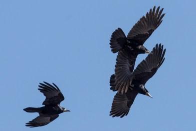 Krauķis. Corvus frugilegus. Rook.