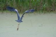 Zivju gārnis. Ardea cinerea. Grey heron.