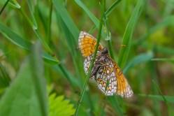 Parastais pļavraibenis. Melitaea athalia. Heath Fritillary.Melitaea athalia (6)
