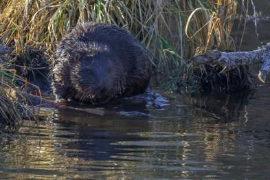 Eirāzijas bebrs. Castor fiber. Eurasian beaver.