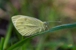 Rāceņu baltenis. Pieris rapae. Small White.
