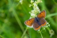 Mazais skābeņu zeltainītis. Lycaena hippothoe. Purple-edged Copper.