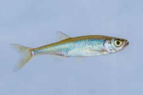 Ausleja. Leucaspius delineatus.