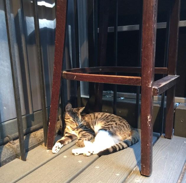 Gato que pasea fuera de casa tiene más oportunidades de ser atacado por las pulgas. Toma precauciones. Minino feliz del Koneko Cat Café en NY (konekonyc.com). Foto: Glorimar Anibarro