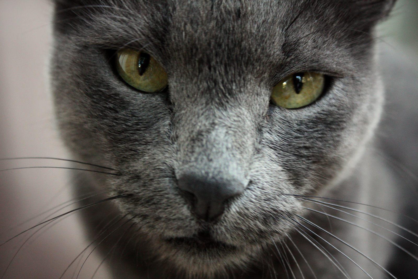 Cute Little Gray Cat For Wallpaper Focinho Do Azul Russo Fotos E Imagens
