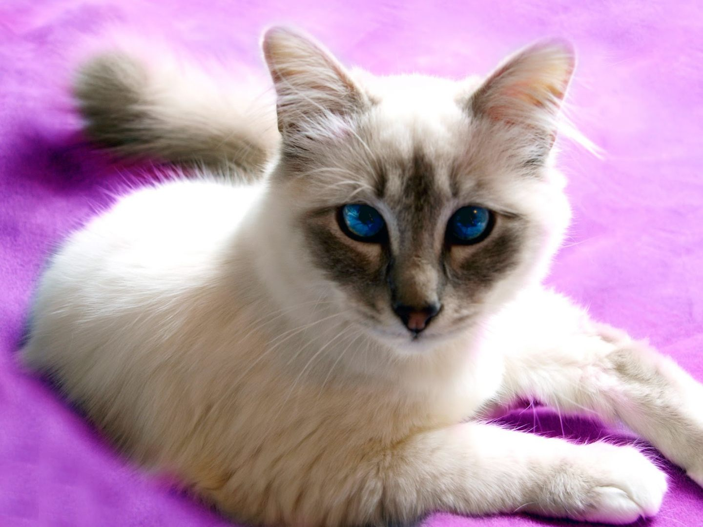 Fluffy And Cute Wallpapers Gato Javan 234 S Fotos E Imagens