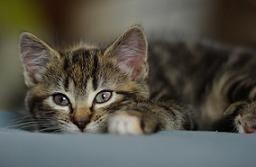 lisina en gatos para herpes felino