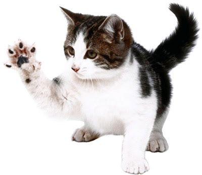 Cualidades De Los Gatos