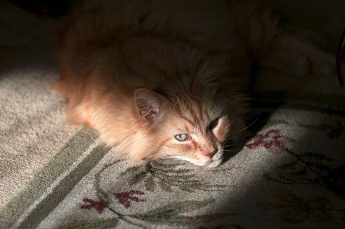 Causas de ceguera en los gatos