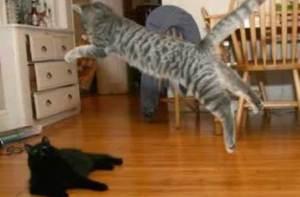 Los gatos, ejercicio y vida saludable