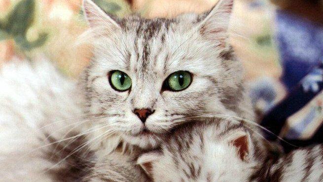 ¿Por qué convulsionan los gatos?