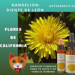 Dandelion nueva