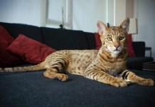 Ashera cat