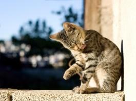 Le pulci del gatto: eliminarle e prevenirle