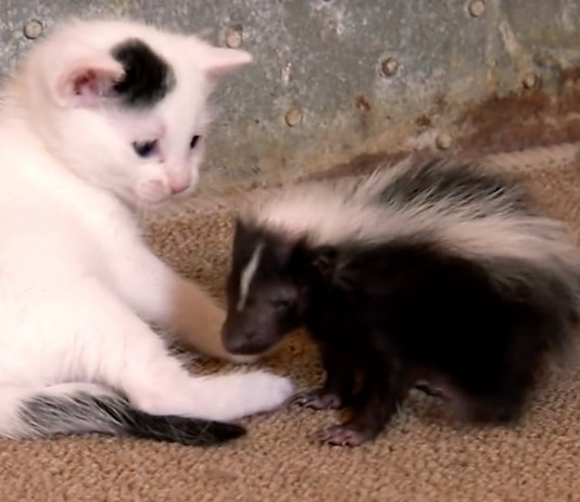 Gattino e puzzola