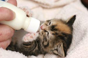 gato tomando leche en biberon 5