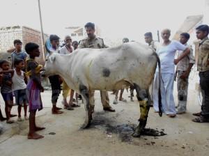 निजामुद्दीनपुर शाह में घायल गाय को देखते ग्रामीण व पुलिस कर्मी।
