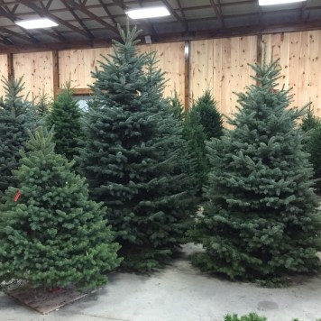 cut your own trees are priced by the type of tree plus md sales tax - Type Of Christmas Trees