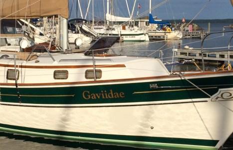 Gaviidae is in the Water