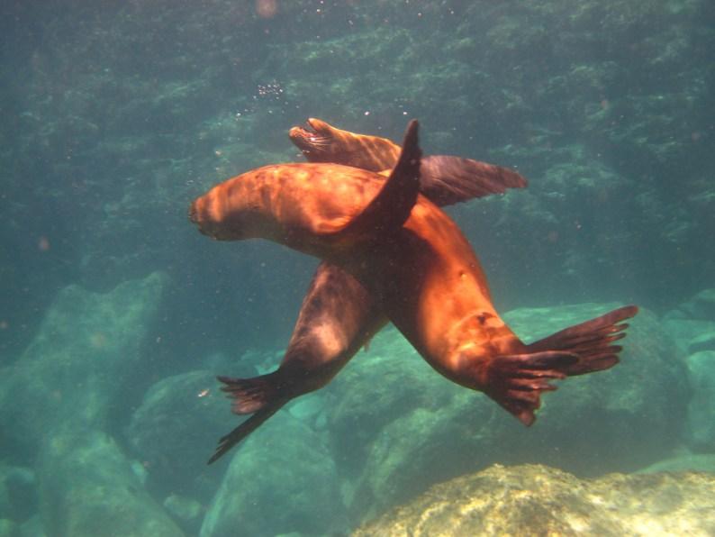 April 22 Sea lions at play, photo by Lisa Broom